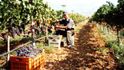 At the Wine-yard of Hatziemmanouil - Cutting the grapes.