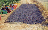 At the Wine-yard of Hatziemmanouil - Drying the grapes in the sun for the sweet wine.